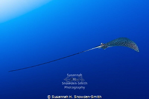 """Beautiful Flight #2"" - A spotted eagle ray in flight.  P... by Susannah H. Snowden-Smith"